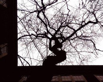 Tree Rising in Courtyard of Campbell Hall at OSU (Photo by Anita Parker, April 2014)